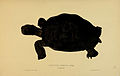N50 Sowerby & Lear 1872 (cylindraspis indica).jpg