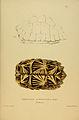 N60 Sowerby & Lear 1872 (geochelone elegans).jpg