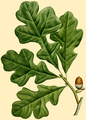 NAS-005g Quercus stellata.png