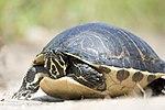NASA Kennedy Wildlife - Turtle.jpg