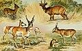 NIE 1905 Antelope.jpg