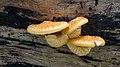 NSG Rotwildpark Stuttgart 2015 03 Unidentified fungus.jpg
