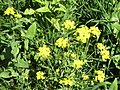 Nabo de pampa (Brassica rapa subsp. oleifera) en cultivo de ajos 02.jpg
