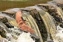 Petit oiseau brun déployant ses ailes au dessus d'une petite cascade.