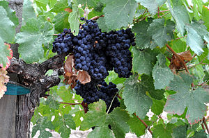 Napa Valley AVA - Grapes in a Napa Valley vineyard