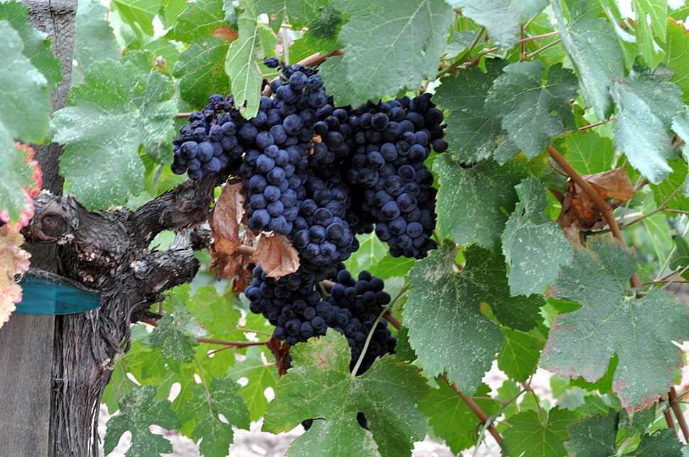 Napa Valley grapes Photo D Ramey Logan 02