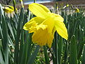 Narcissus pseudonarcissus4.jpg