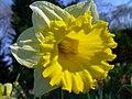 Narcissus pseudonarcissus 3.JPG