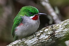 Narrow billed tody 6.jpg