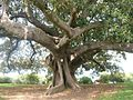 Native Fig Tree in Royal Botanic Gardens (493785662).jpg