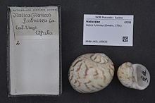 Naturalis Biodiversity Center - RMNH.MOL.189630 - Natica fulminea (Gmelin, 1791) - Naticidae - Mollusc shell.jpeg