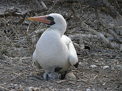 Nazca booby chick and egg.jpg