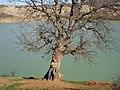 Ne ağacı bilmiyorum ama , ama bana Nazım ı hatırlatıyor... - panoramio.jpg