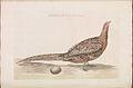 Nederlandsche vogelen (KB) - Phasianus colchicus (160b).jpg