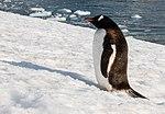 Neko Harbour Antarctica Gentoo Penguin (32395040317).jpg