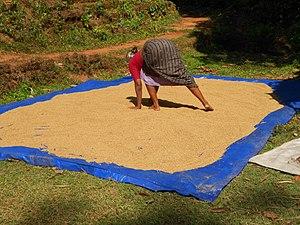 Peravoor - Drying rice in Peravoor