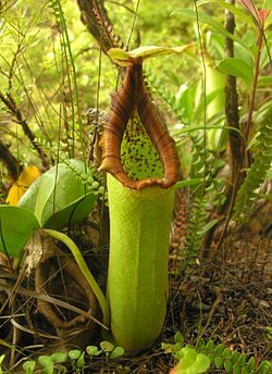Nepenthes truncata 2.jpg