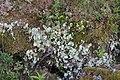Nephroma arcticum 48477496.jpg