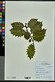 Neuchâtel Herbarium - Ilex aquifolium - NEU000027837.jpg