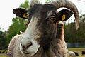 Neugieriges Schaf.jpg