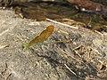 Neurobasis chinensis - Stream Glory - female - Aralam Butterfly Survey at Kottiyoor, 2019 (2).jpg