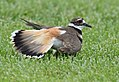 No one can fake an injury like a Killdeer (34125997663).jpg