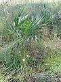 Nolina atopocarpa fh 0523.30 Sabal palmetto fh 0523.46 FL.jpg
