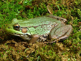 Northern green frog - Female, Tewksbury Township, New Jersey