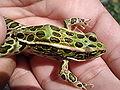 Northern Leopard Frog.JPG