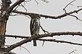 Northern Pygmy-Owl Trip to Onion Saddle Chiricahuas AZ 2017-10-13 13-46-08 (37030912694).jpg