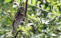 Northern Pygmy Owl - Flickr - GregTheBusker (3).jpg