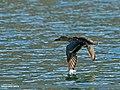 Northern Shoveler (Anas clypeata) (23868415399).jpg