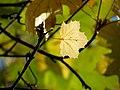 Norway Maple (31016257755).jpg
