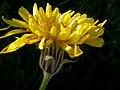 Nothocalais cuspidata (3287842896).jpg
