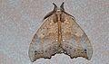 Notodontid Moth (Gangarides vardena) (8750486684).jpg
