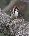 Nuttall's Woodpecker.jpg