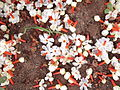 Nyctanthes arbor-tristis-4-nagalur-yercaud-salem-India.JPG