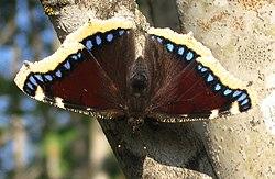 Nymphalis antiopa (Suruvaippa).jpg