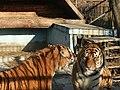 Oáza sibírského tigra-Kostolná pri Dunaji - panoramio.jpg