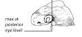 O2. Maxillary process posterior to eye (G01b).png