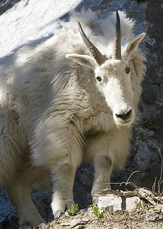 Elkhorn Mountains (Oregon) - A mountain goat in the Elkhorn Mountains