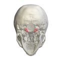 Occipital condyle03.png