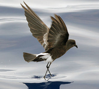 Monuriki - Wilson's storm-petrel is strictly pelagic outside the breeding season, and this, together with its remote breeding sites, makes the bird a rare sight on land. Usually, the species is seen only in the headlands during severe storms.