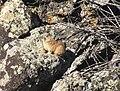 Ochotona dauurica, Tariat sum, Arkhangai province, Mongolia.JPG