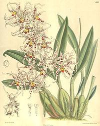 Odontoglossum naevium - Curtis' 132 (Ser. 4 no. 2) pl. 8097 (1906)