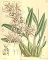 Odontoglossum naevium - Curtis' 132 (Ser. 4 no. 2) pl. 8097 (1906).jpg
