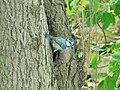 Odrasla plava senica (Cyanistes caeruleus) Eurasian Blue Tit, adult.jpg