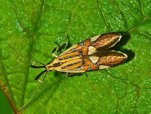 Alabonia geoffrella - Alabonia geoffrella, dorsal view
