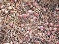 Oignon rosé de roscoffP1000686.jpg