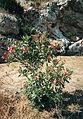 Oleander from Selinunte qa5.jpg